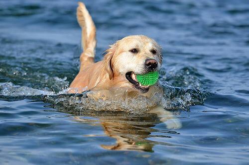 Perro nadando con una elota