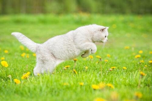 Por qué cazan los gatos
