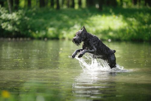 Schnauzer saltando en el rio