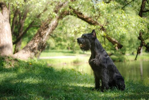 Schnauzer sentado en el bosque al lado del rio