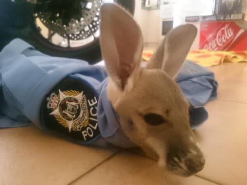 Adoptan a un bebé canguro en una comisaría de Australia