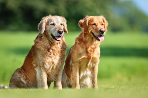 ¿Qué es la brucelosis canina?