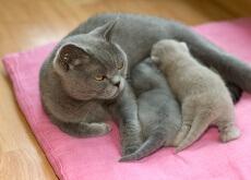 comportamiento reproductivo del gato