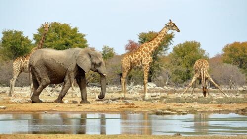 elefante y jirafas