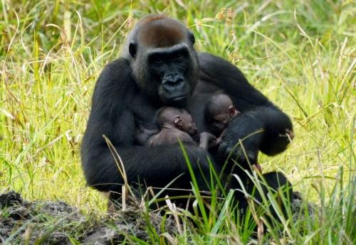Gorila con su cria