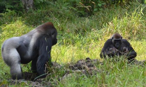 Gorilas en el campo