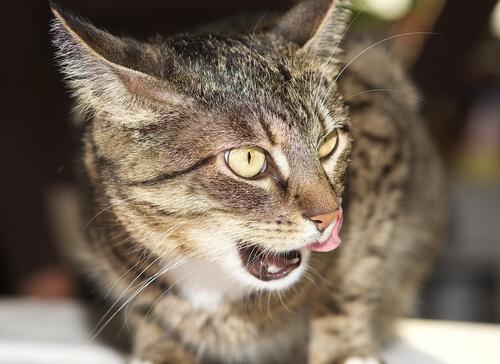 Hiperestesia felina: ¿qué es y por qué sucede?