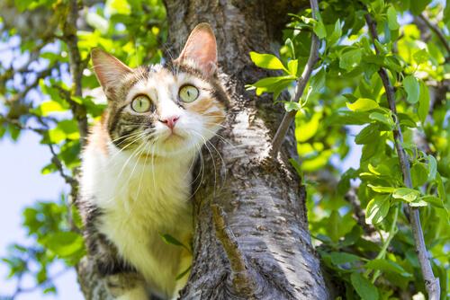 hiperestesia felina