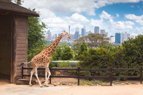 Jirafa en los zoológicos