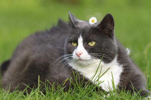 Cómo cuidar la figura de tu gato