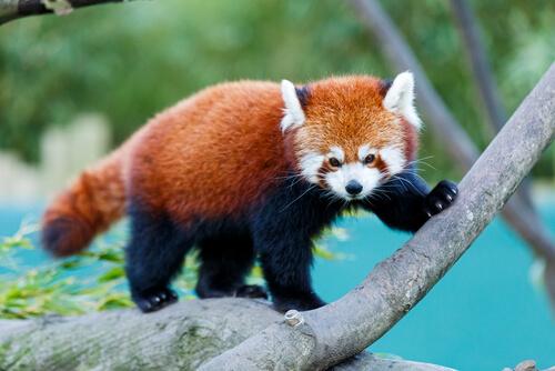 panda rojo 2