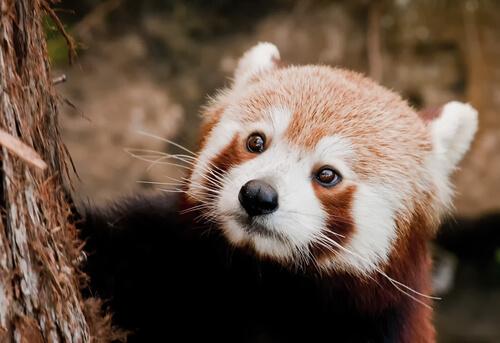 ¿Conoces al panda rojo?