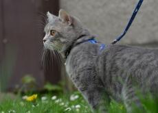 pasear un gato