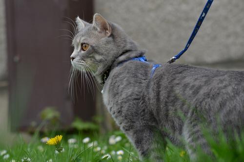 ¿Podemos sacar a pasear a un gato con una correa?