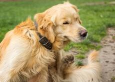 perro con ronchas