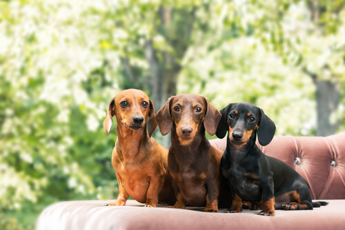 "Three short-haired ""wiener dogs""."