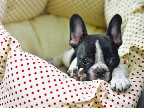 perro se orina en la cama