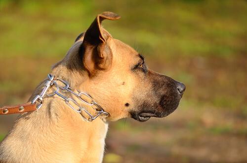 perros encadenados