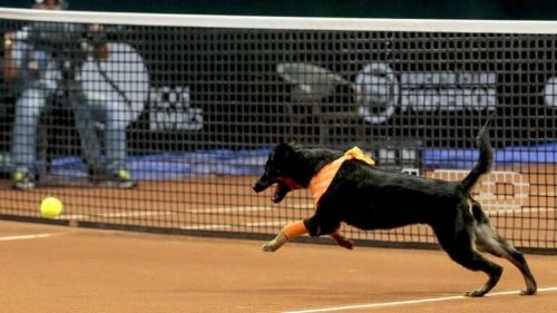 perros que trabajan en un torneo de tenis 2