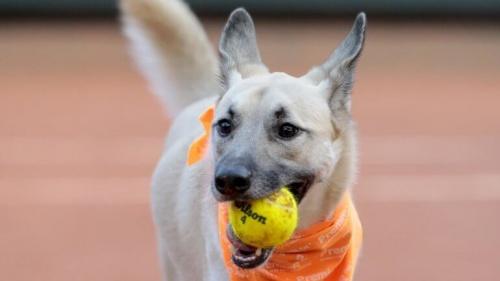 Los perros que trabajan en un torneo de tenis