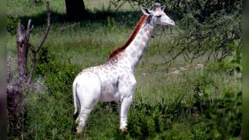 Omo, la primera jirafa blanca que no es albina
