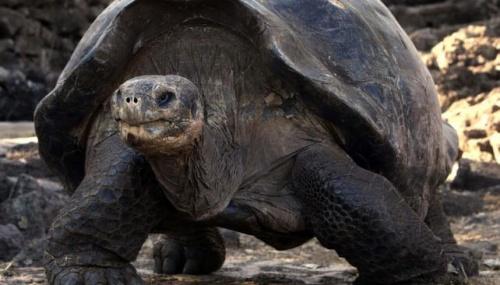 ¡Una excelente noticia! Por primera vez en 100 años nacen tortugas en Galápagos