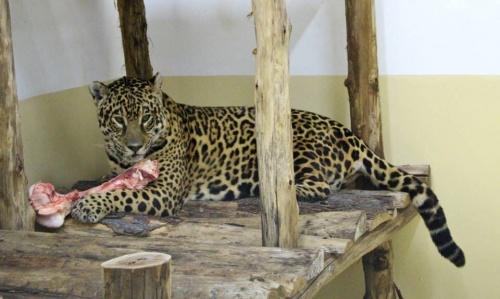 Una increíble historia de amor que podría salvar el yaguareté de la extinción