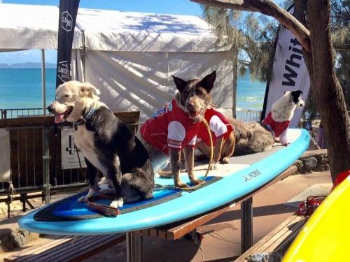 Festival de surf de Noosa en Australia, una competencia para perros y sus dueños