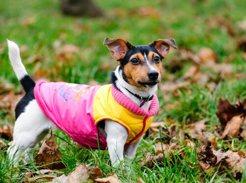 desfile de ropa de perros