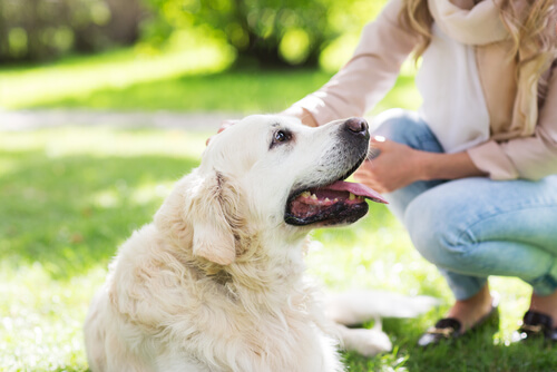 Woman petting a White Golden Retriever in the grass: dog massages.