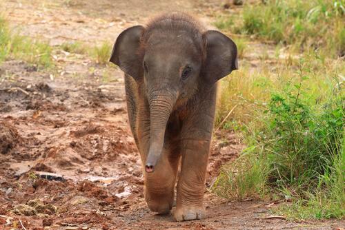 Una mujer salva a un bebé elefante y lo adopta en casa