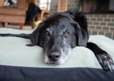 envejecimiento cerebral canino