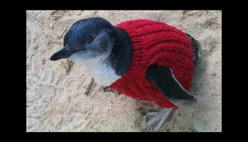 Pinguino vestido