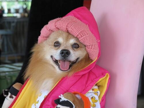 humanizar a un perro vistiéndolo