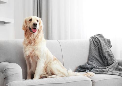 Cómo limpiar los pelos de tu perro de la casa