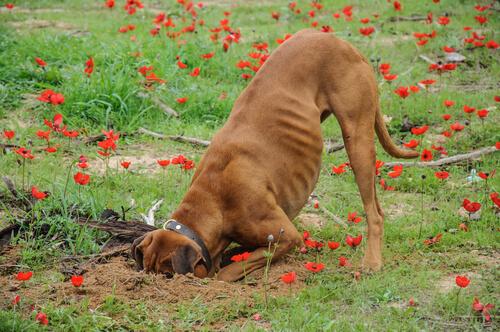 mi perro escarba la tierra