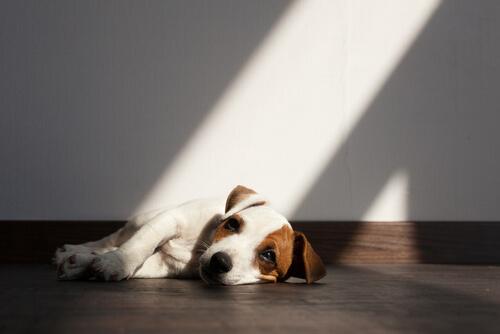 Parásitos en los perros