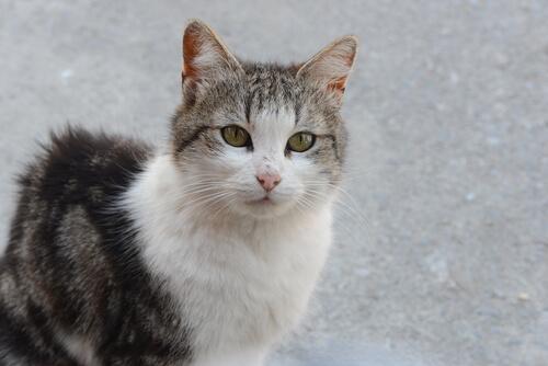 Peritonitis Infecciosa Felina: una enfermedad que puede causar la muerte de tu gato