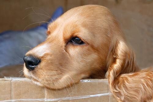 A spaniel resting.