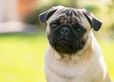 perros con ojos salidos