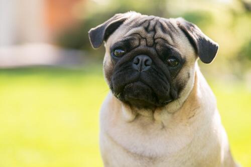 Perros con ojos salidos de sus órbitas: ¿verdad o mito?