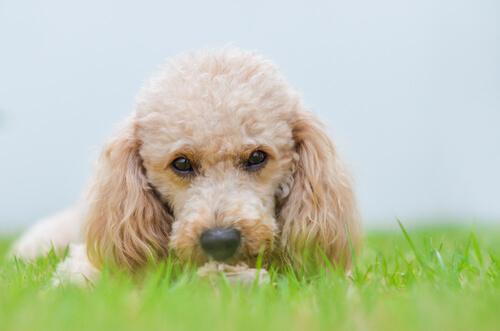 perros pequeños en el mundo