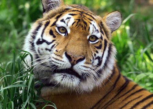 Cara de un tigre de bengala