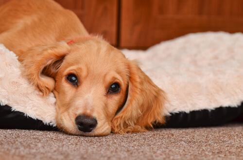Los vómitos en perros: precauciones y cuidados