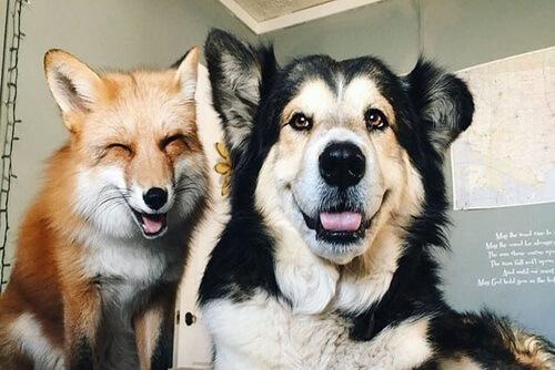 Juniper y Moose, el zorro y el perro que ahora son amigos