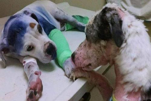 La historia de la amistad de un perro que recibió un disparo y otro maltratado