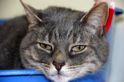 enfermedades comunes en los gatos