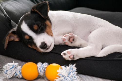 ¿Cómo actuar en caso de fracturas de los perros?