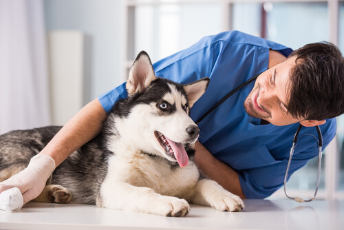 Veterinarian sitting with a husky