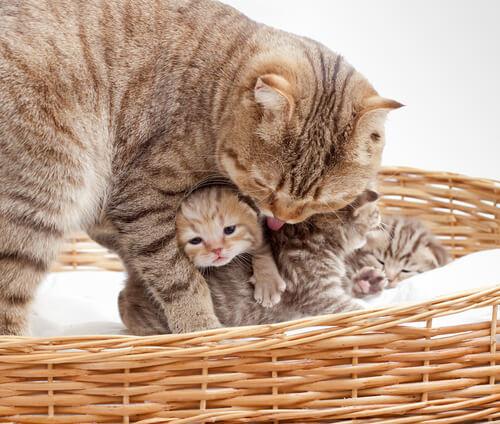 El parto de la gata: 6 síntomas de peligro